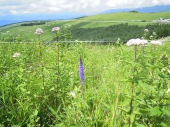 霧ヶ峰湿原の花ー3-170804