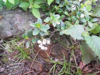 白い球のような花茶つぼみ苔公園内で170820