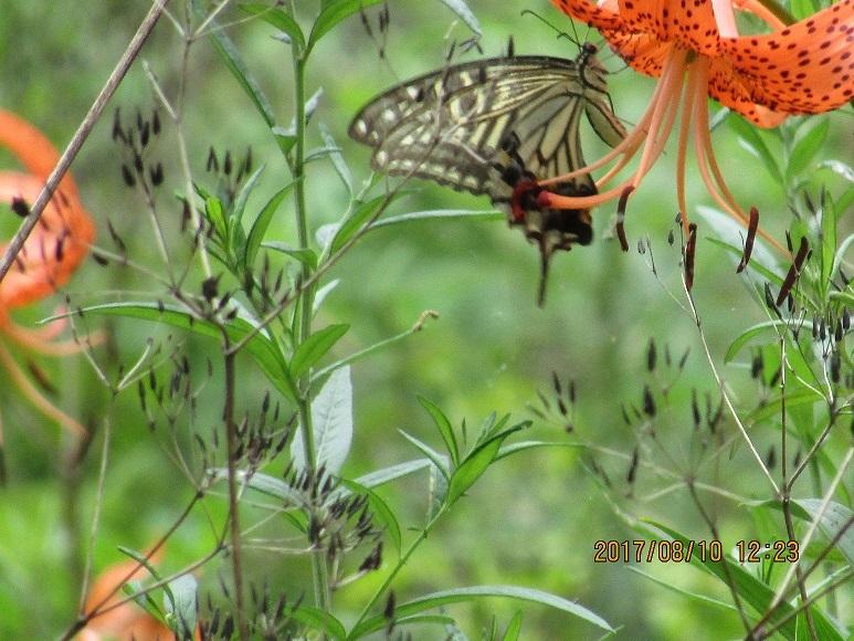 松林の蝶1