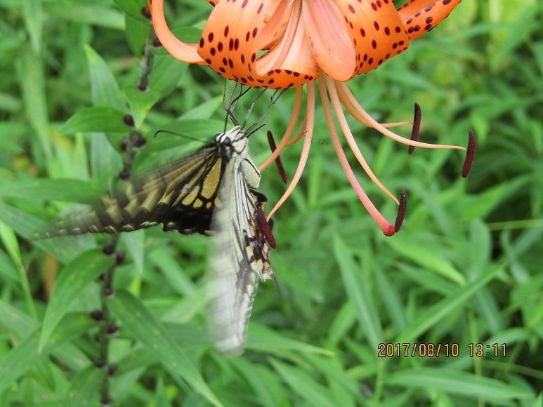 松林の蝶3
