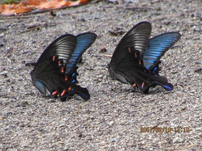 松林の蝶4
