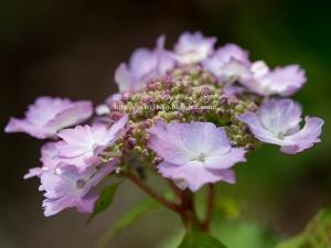 北公園の紫陽花 C