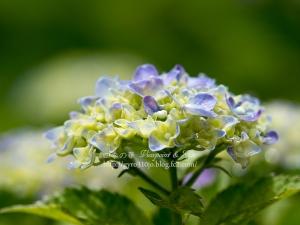 北公園の紫陽花 D