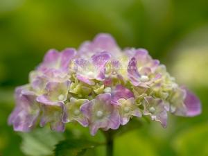 北公園の紫陽花 I