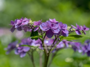 北公園の紫陽花 K