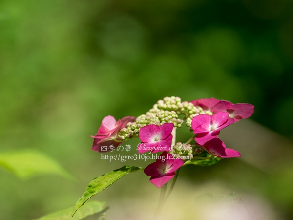 北公園の紫陽花 L