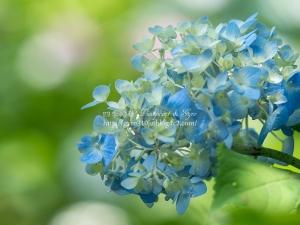 北公園の紫陽花 O