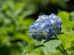 北公園の紫陽花 F