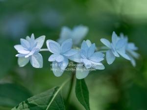 北公園の紫陽花 E