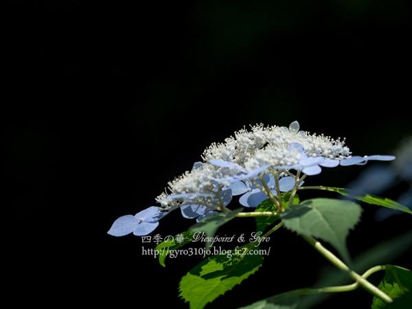 北公園の紫陽花 G