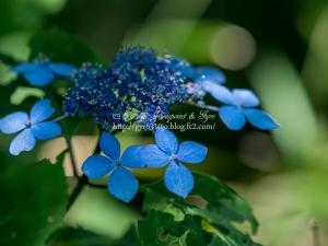 北公園の紫陽花 J