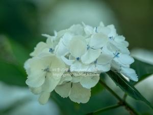 北公園の紫陽花 P