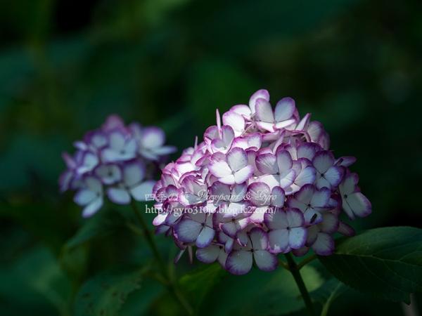 北公園の紫陽花 Q