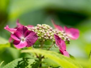 北公園の紫陽花 M