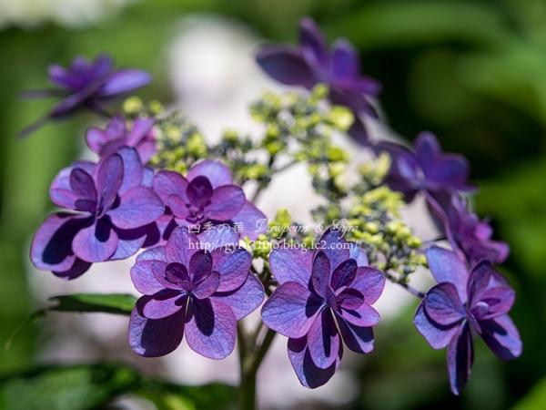 北公園の紫陽花 B