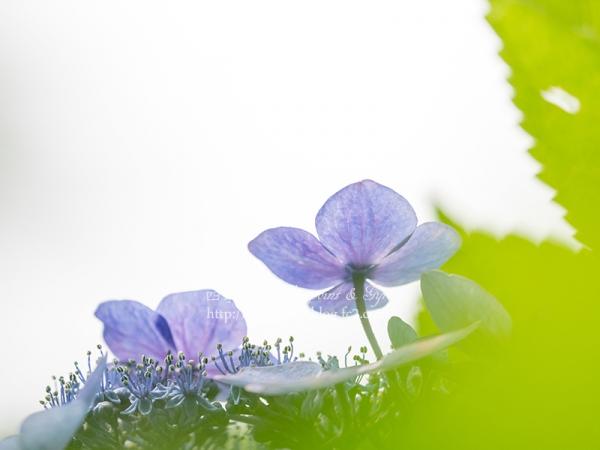 紫陽花 E