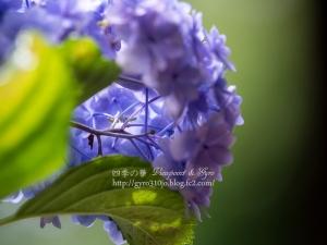 紫陽花 J