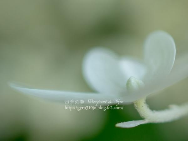 北公園の紫陽花 H
