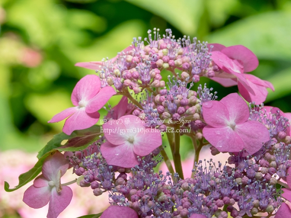 北公園の紫陽花 A