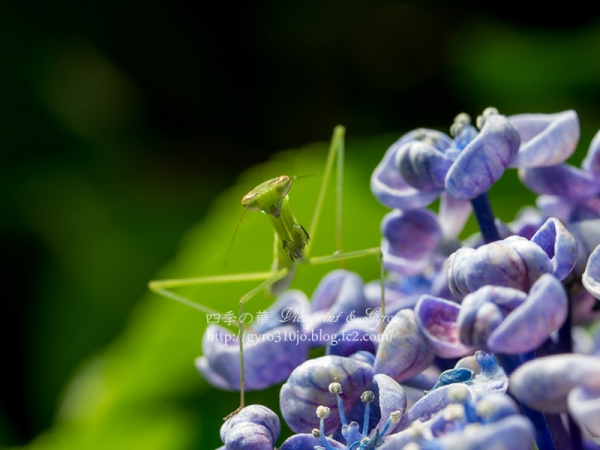 紫陽花 N