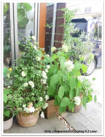 クレマチス白万重の鉢植えとアナベル