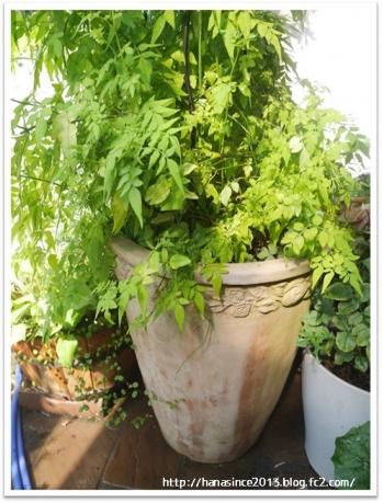 ハゴロモジャスミンと植木鉢