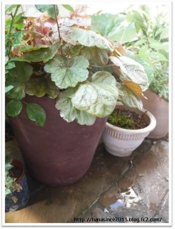 テラコッタの鉢植リメイク