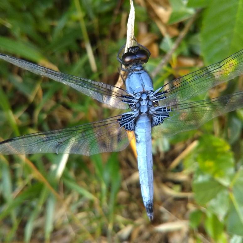 Ooshiokaratonbo dragonfly 20170820
