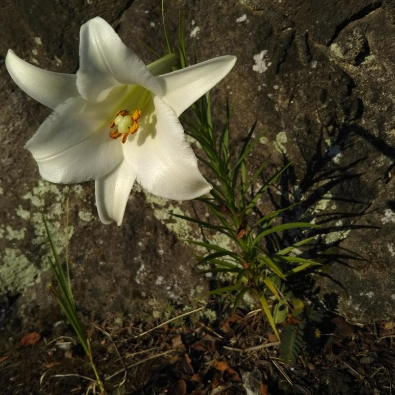 Shinteppouyuri lily 20170828