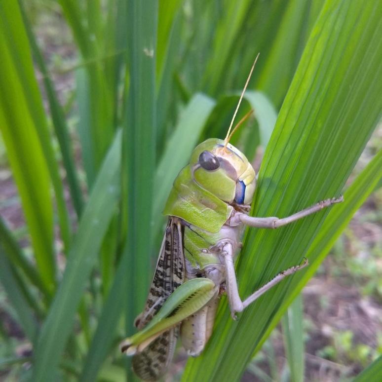 Tonosamabatta grasshopper 20170822