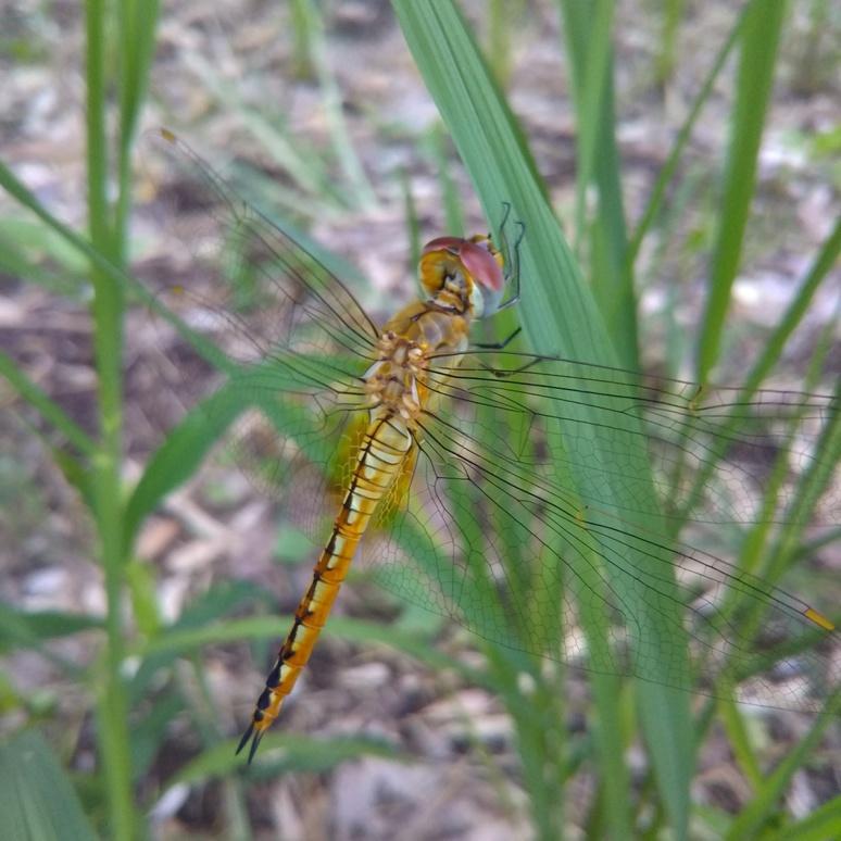 Usubakitonbo dragonfly 20170822