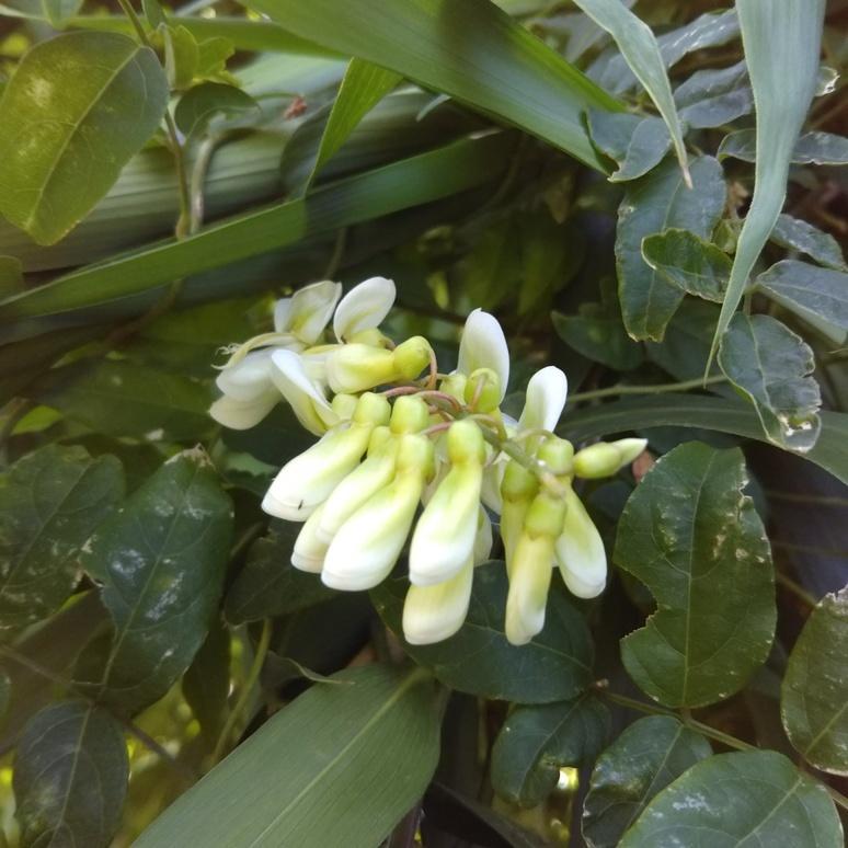 Yamafuji wisteria 20170804