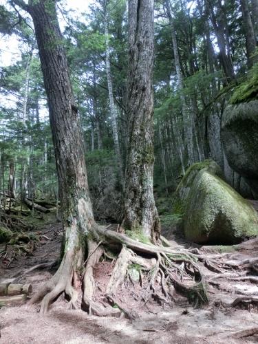 足を絡ませる木