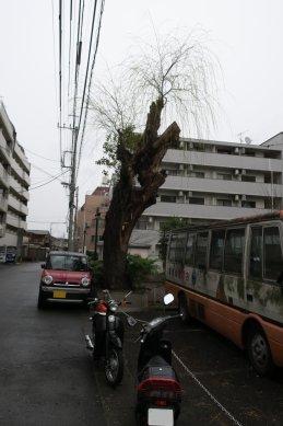 柳の古木at平潟遊郭跡(九十九楼辺)