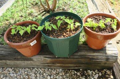 親木候補苗の寄せ植え