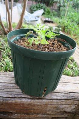 小鉢表面の高さまで用土入れ
