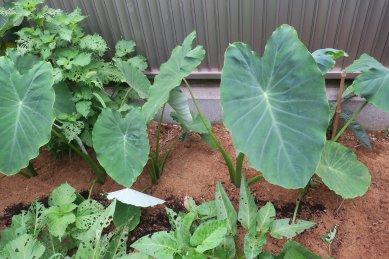 里芋にも土寄せ、手前の空芯菜は虫の餌に