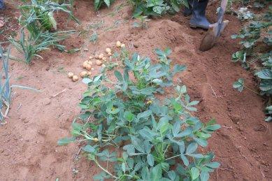 葉が無くなっていたジャガイモの畝→掘ると芋が