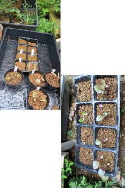 小鉢の仮置き場&発芽場所