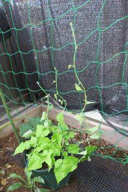 網に蔓を誘引中