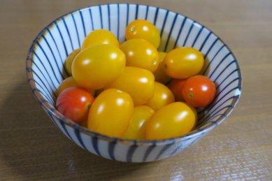 黄トマト大量収穫