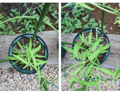 鶏足柳葉2鉢