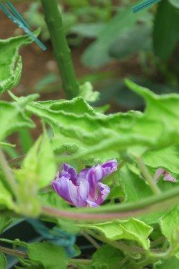 采咲牡丹か、葉はかかえ(右から1鉢目)