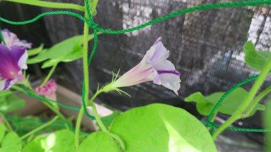 丸咲き・並葉