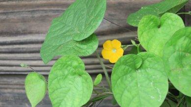 黄色の朝顔1