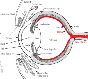 Eye-Drawing-retina.jpg