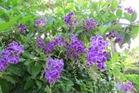 デュランタの花a_1