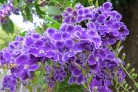 デュランタの花b_2