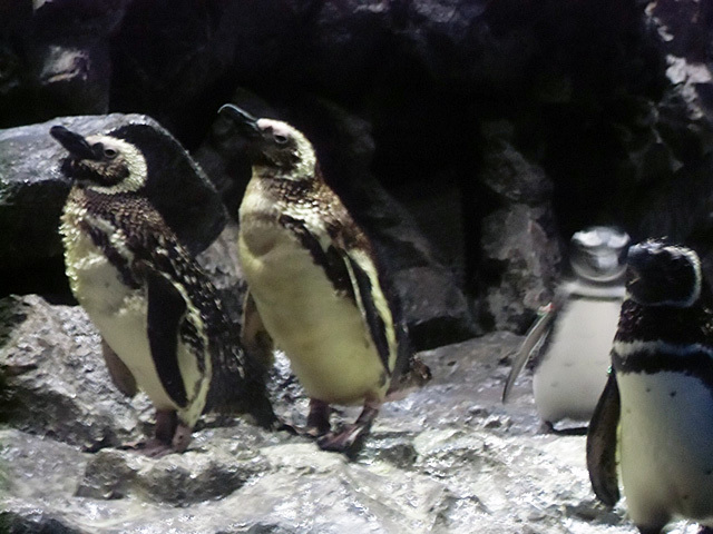 エサを待つペンギン