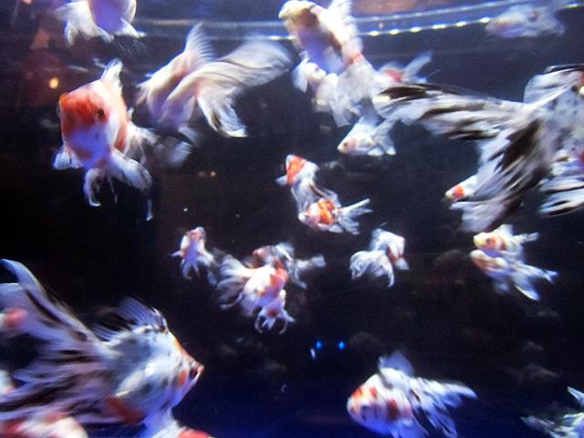 キャリコの群泳